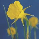 Narcis bulbocodium