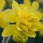 Narcis odorus