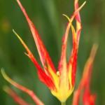 Tulp, botanisch