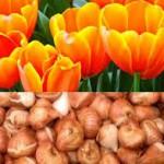 bloembollensector