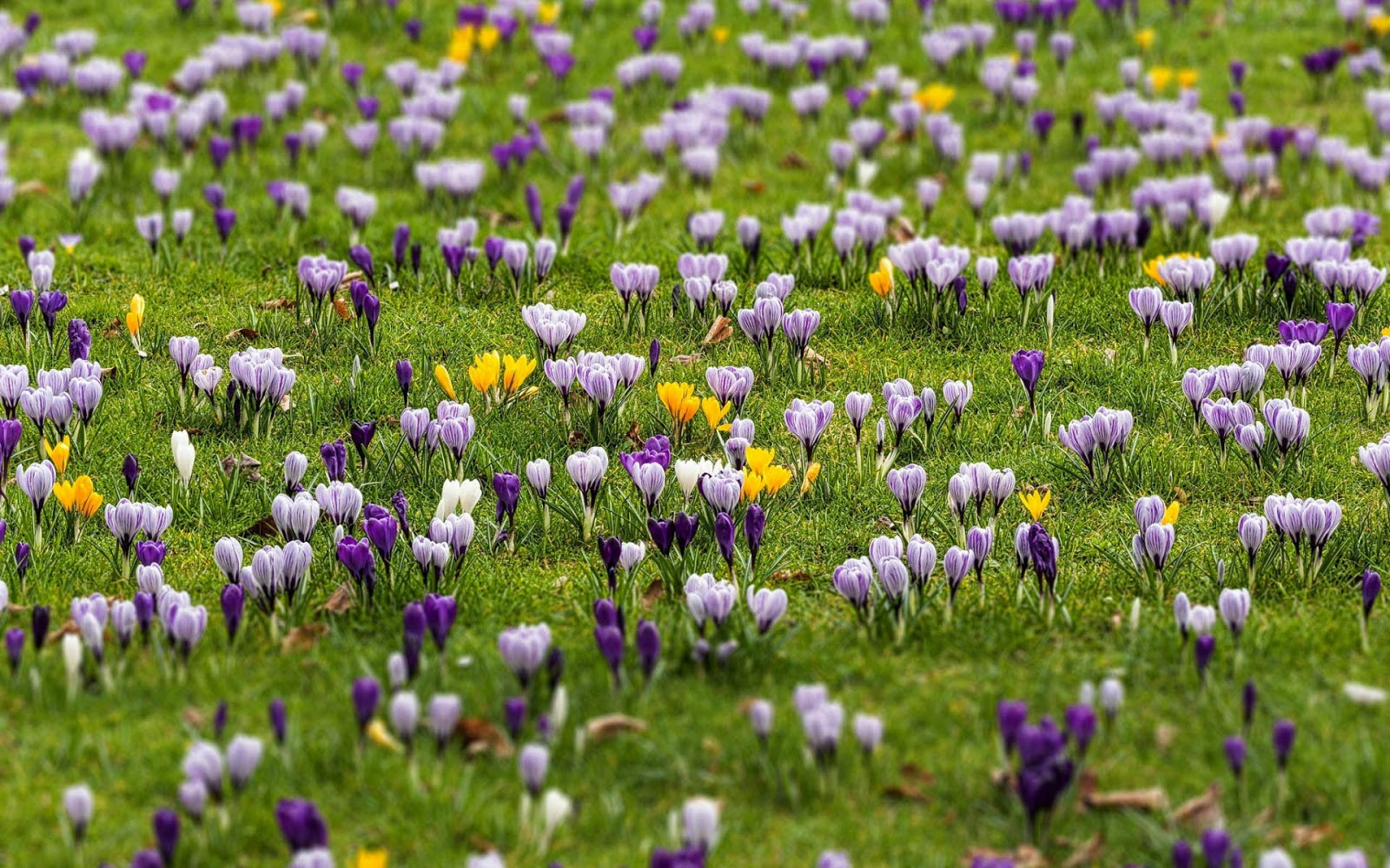 Bollen Bloeiend Voorjaar : Bloembollen en hun toepassingen allesoverbloembollen